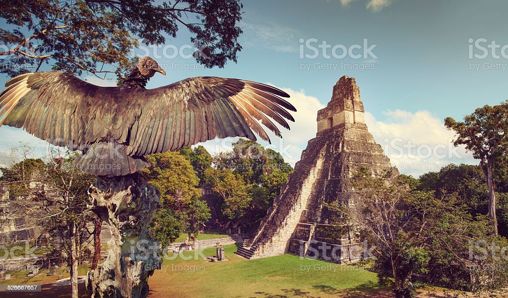 Neophron looking at ancient ruins of Mayan city  Tikal. Guatemala stock photo