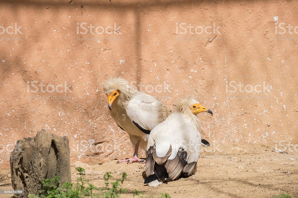 Neophron percnopterus, Egyptian vulture stock photo