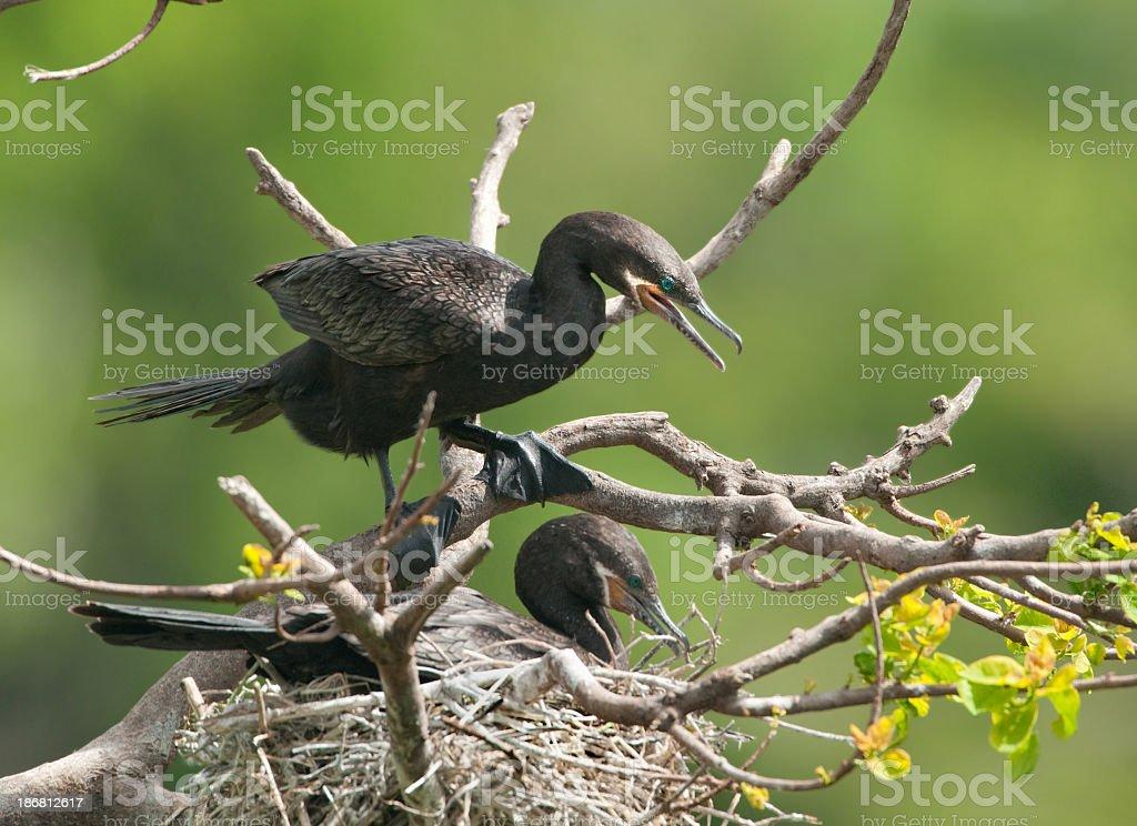 Neotropic Cormorants on Nest stock photo