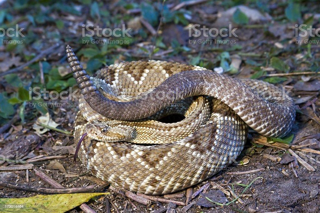 Neotropical Rattlesnake stock photo