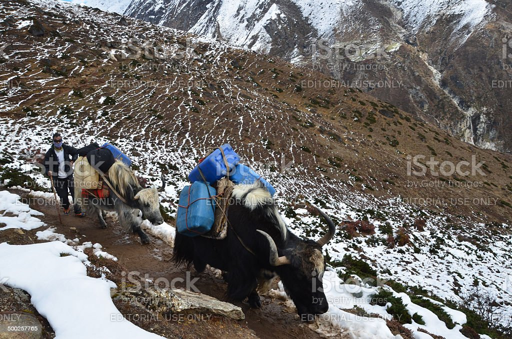 Nepal Scene: The teamster of yaks in Himalayas stock photo