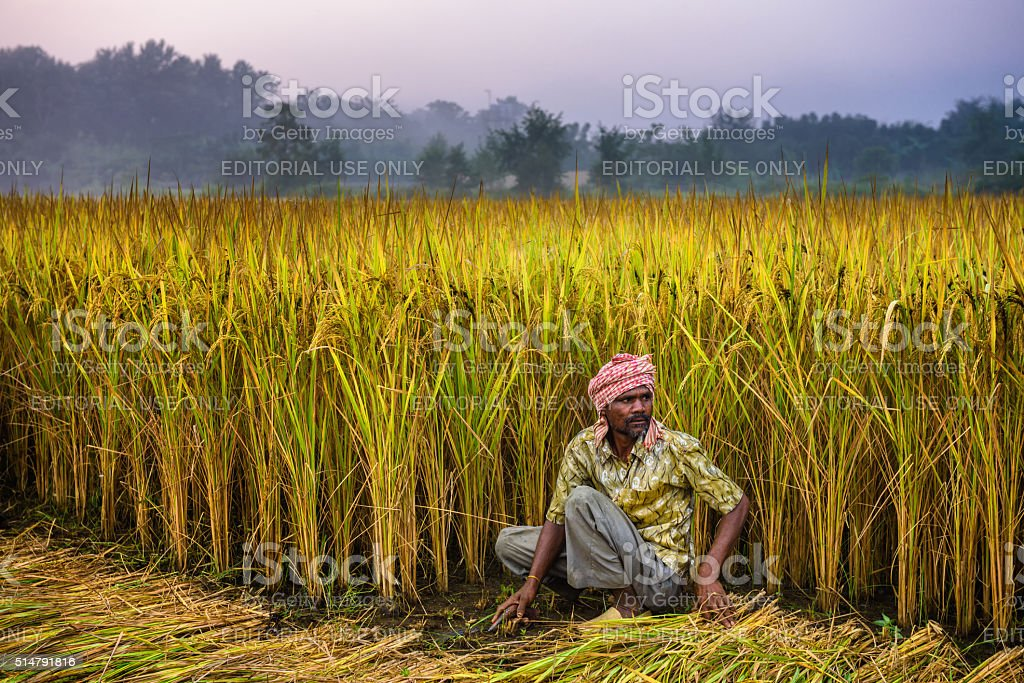 Nepalese man working in a rice field stock photo
