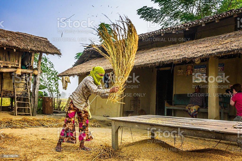 Nepalese woman threshing grain manually stock photo
