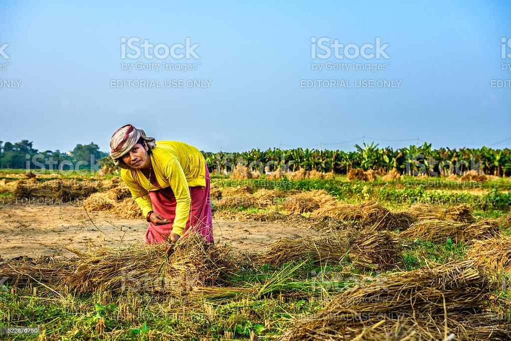 Nepalese woman working in a rice field stock photo