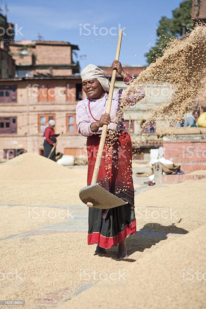 Nepali woman drying grain royalty-free stock photo