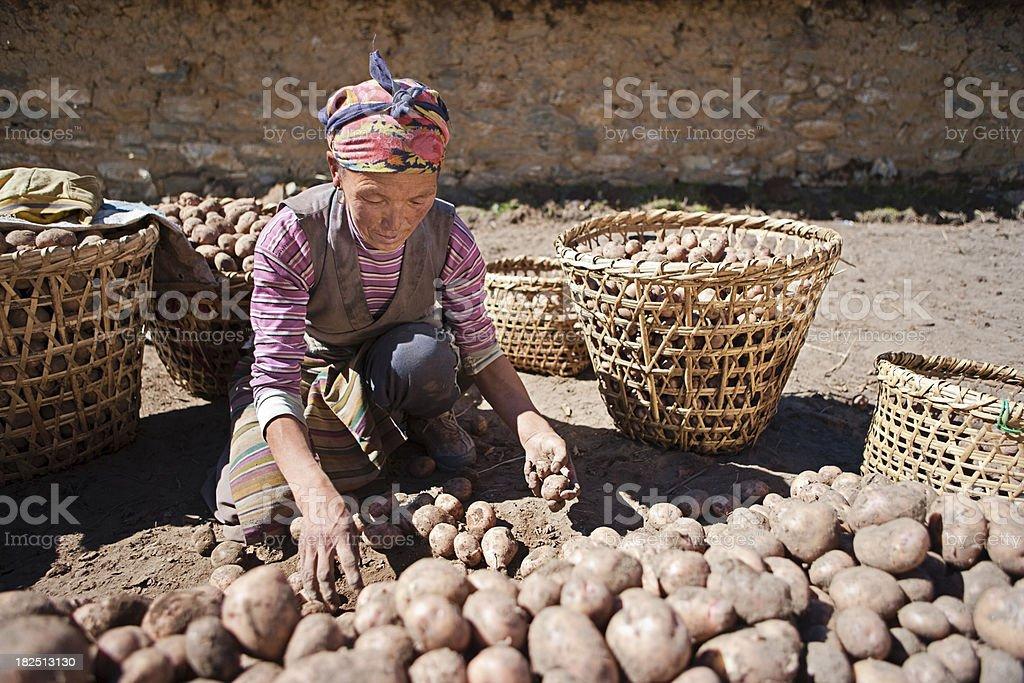 Nepali woman harvesting potatoes royalty-free stock photo