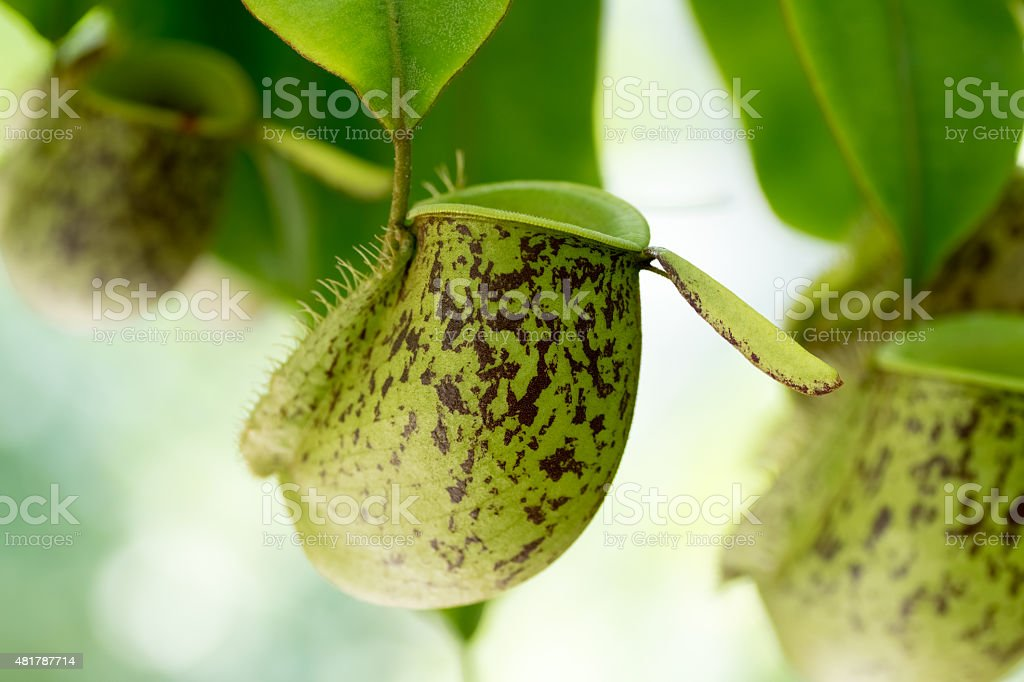 Nepenthes ampullaria., Nepenthaceae, New Guinea stock photo