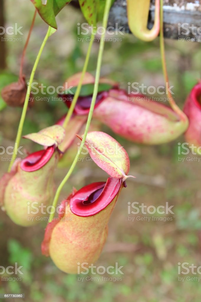 Nepenthes in garden stock photo