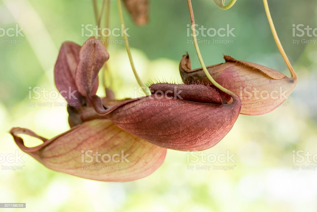 Nepenthes mirabilis var. globosa, Nepenthaceae, Malaysia stock photo