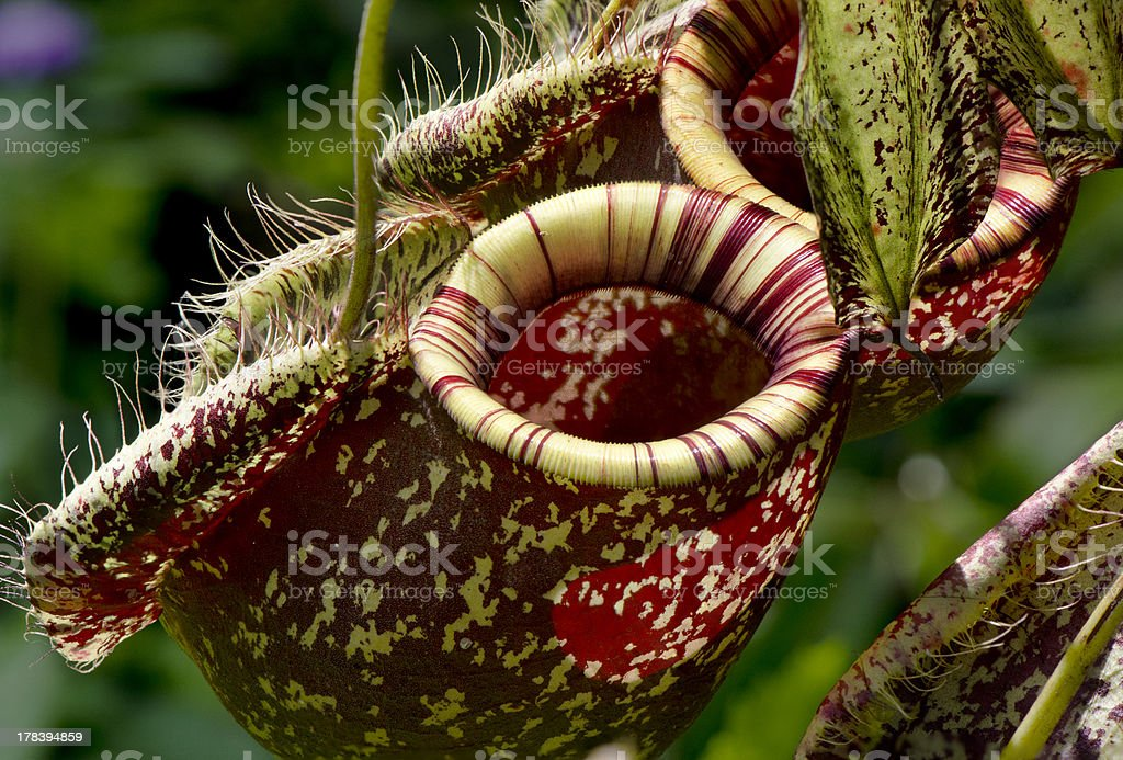 Nepenthes - Monkey cups stock photo