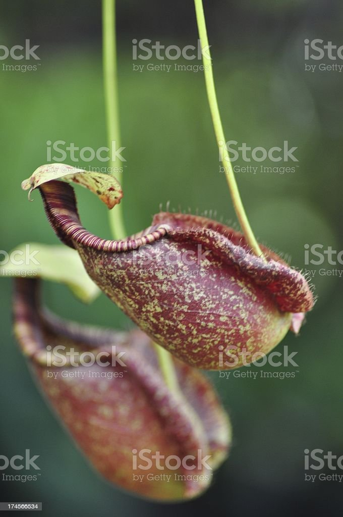 nepenthes royalty-free stock photo