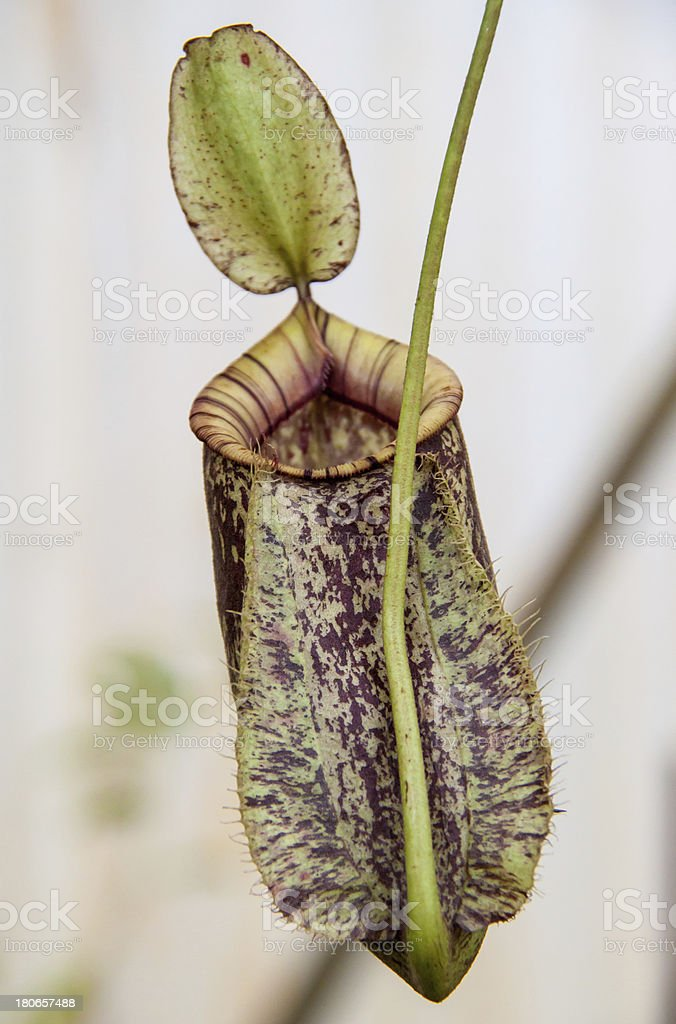 Nepenthes. royalty-free stock photo