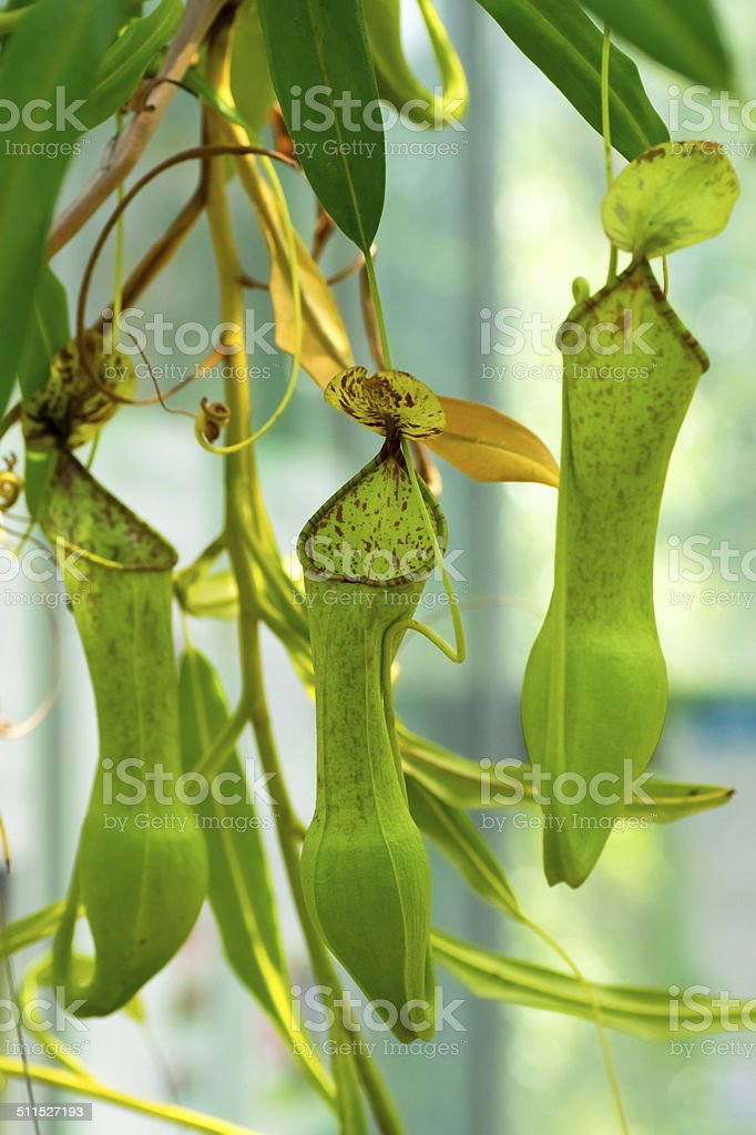 Nepenthes sp., Nepenthaceae, Philippines stock photo