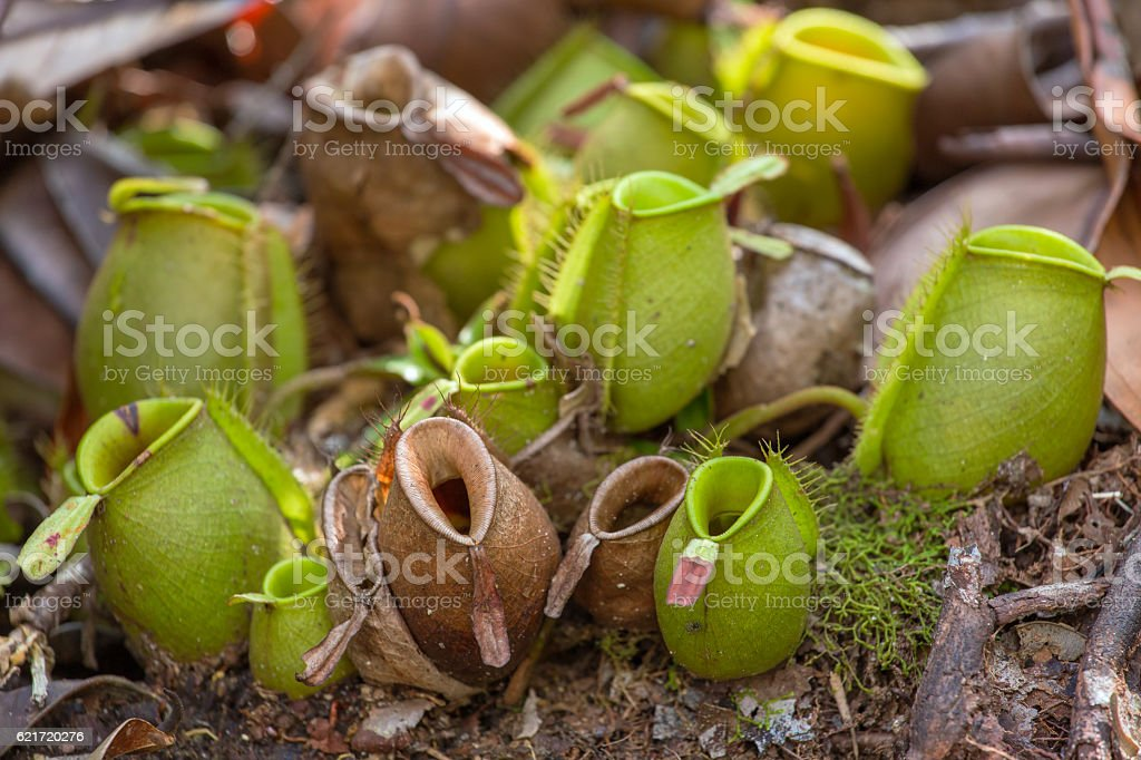 Nepenthes, tropical pitcher plants (Monkey cups) stock photo