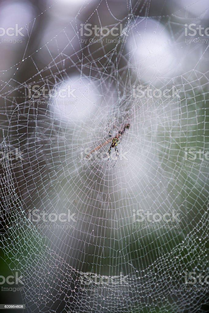 Nephila Clavata, Jorou Spider, common in Japan, Korea, Taiwan, China stock photo