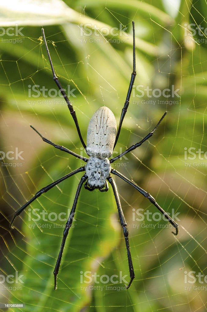 Nephila edulis or Golden Orb spider in Bali royalty-free stock photo
