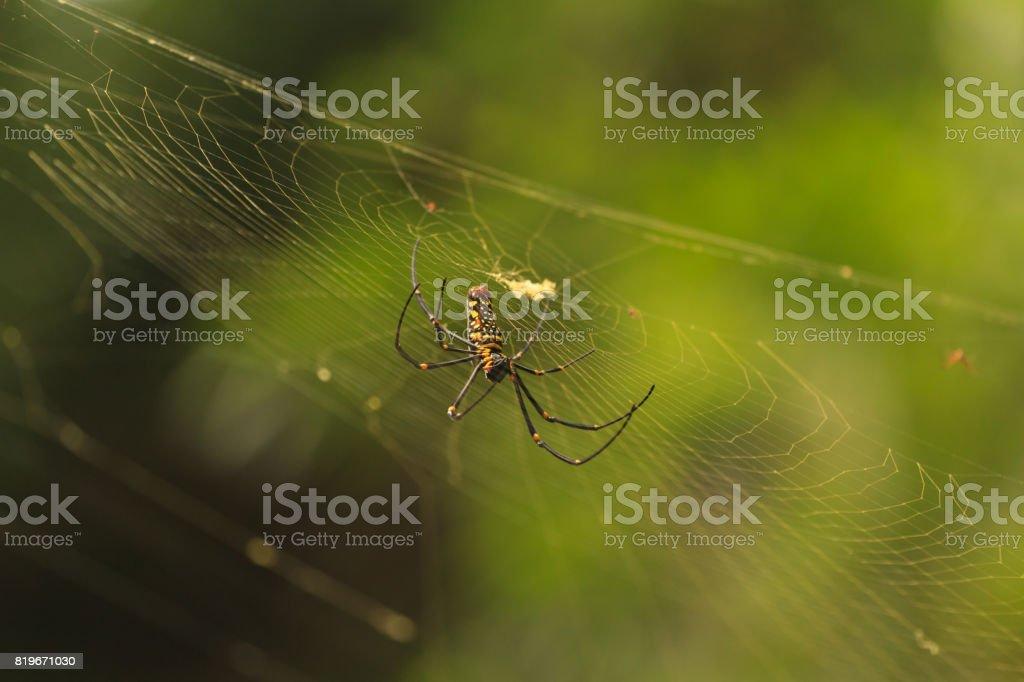 Nephila Maculata, Giant Wood Spider stock photo