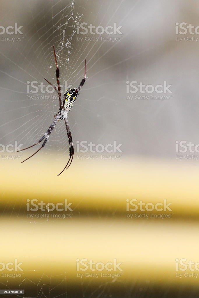 Nephila, Spider stock photo