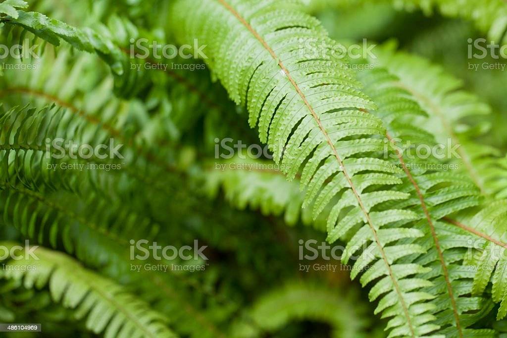 Nephrolepis cordifolia stock photo