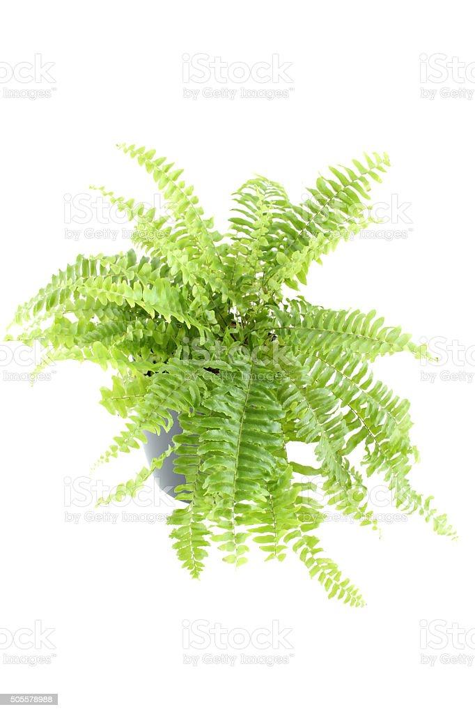 Nephrolepis fern indoor plant stock photo