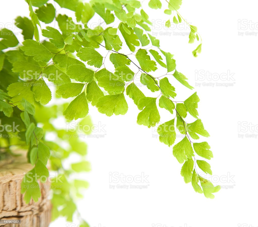 Nephrolepis fern leaf isolated on white; stock photo