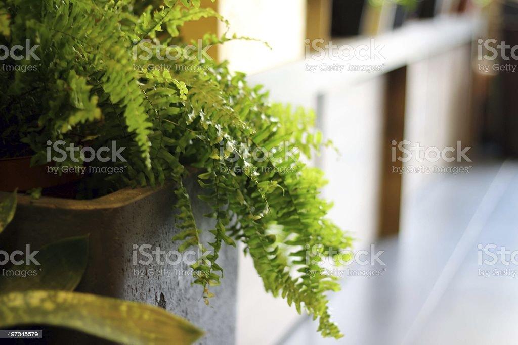 Nephrolepis fern leaf isolated on white stock photo