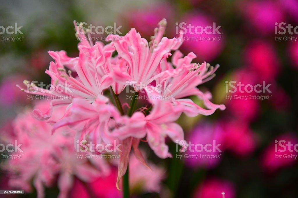 Nerine / Diamond Lily stock photo