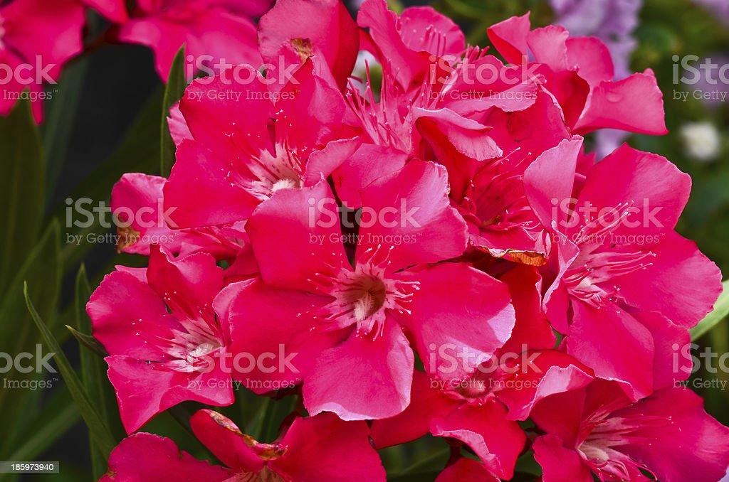 Nerium oleander flowers royalty-free stock photo