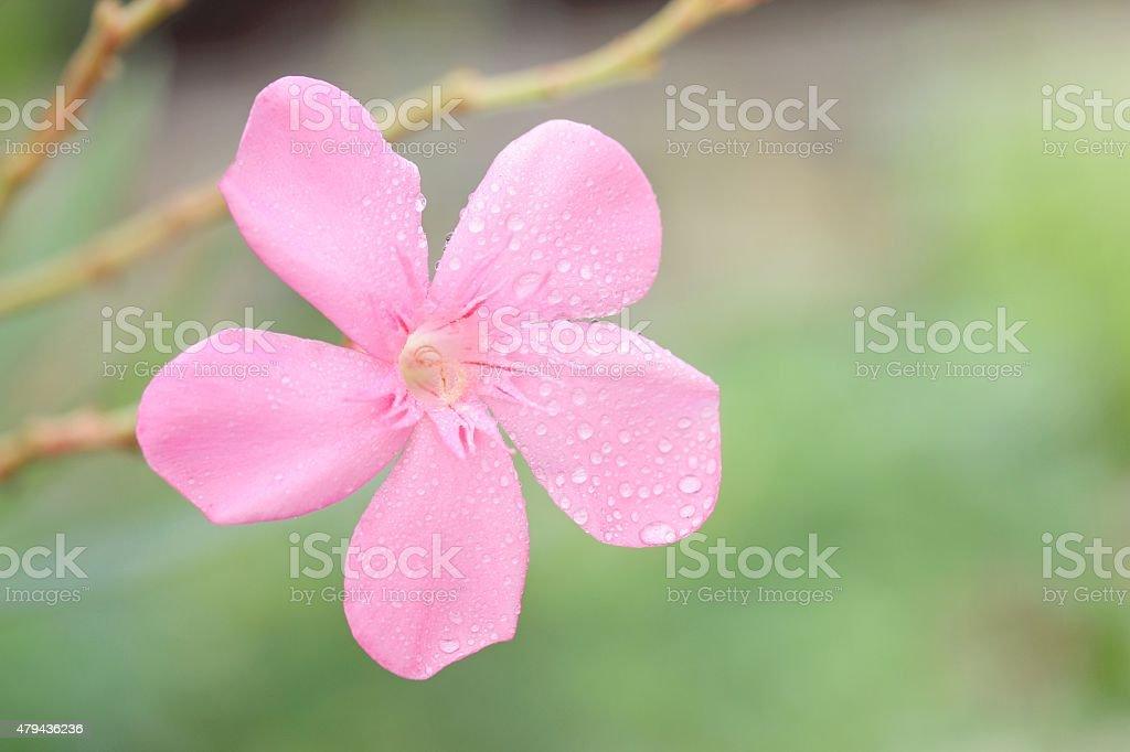 Nerium oleander L. stock photo