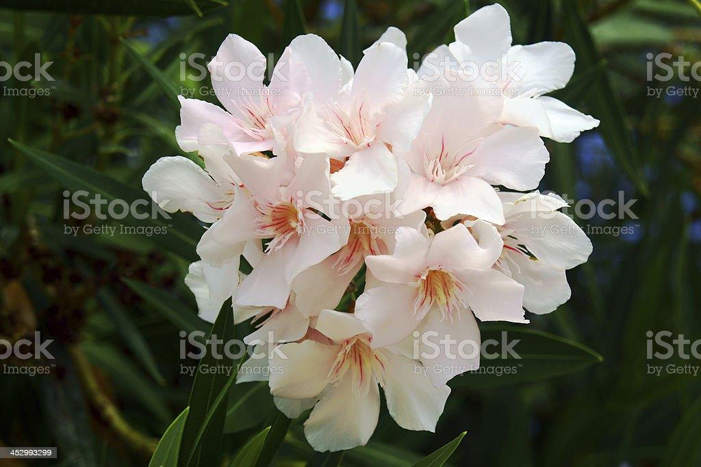 nerium oleander stock photo