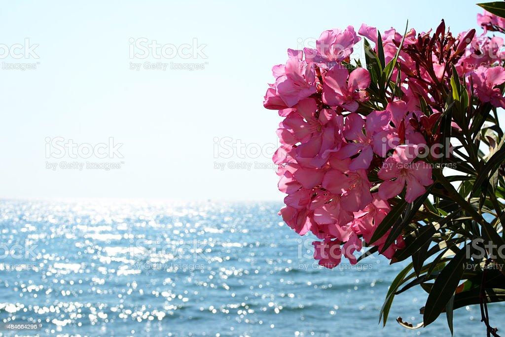Nerium oleander pink flowers stock photo