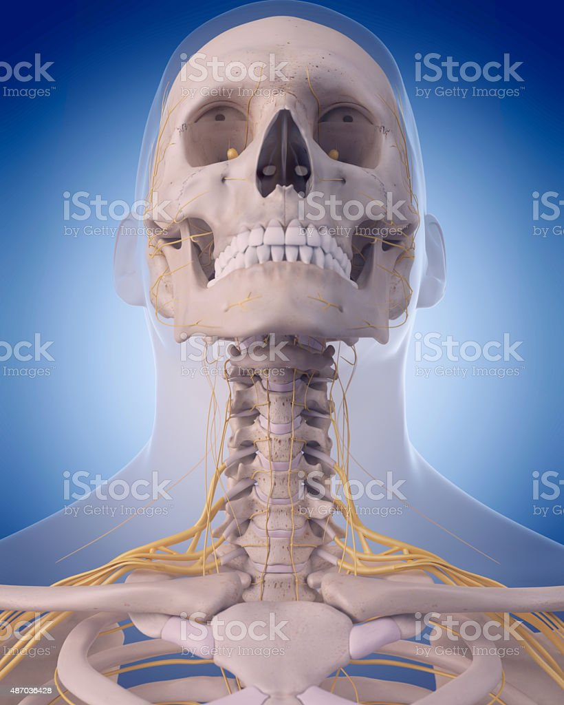 nerves of the  neck stock photo