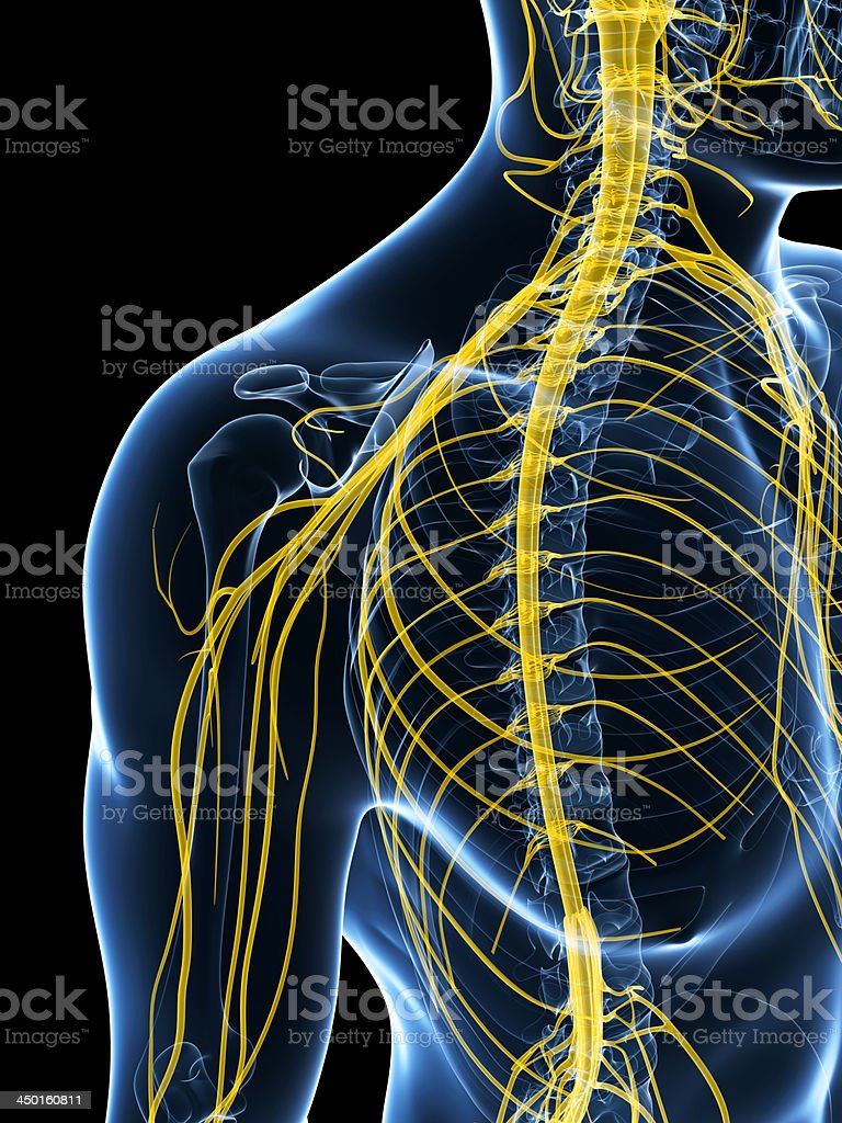 nerves of the shoulder royalty-free stock photo