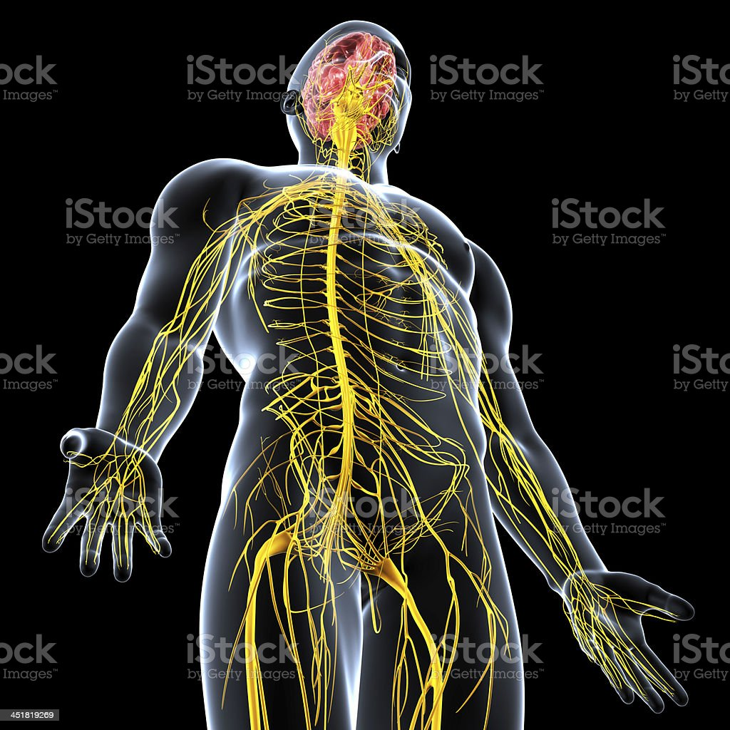 Nervous system of male body anatomy with highlighted brain stock photo