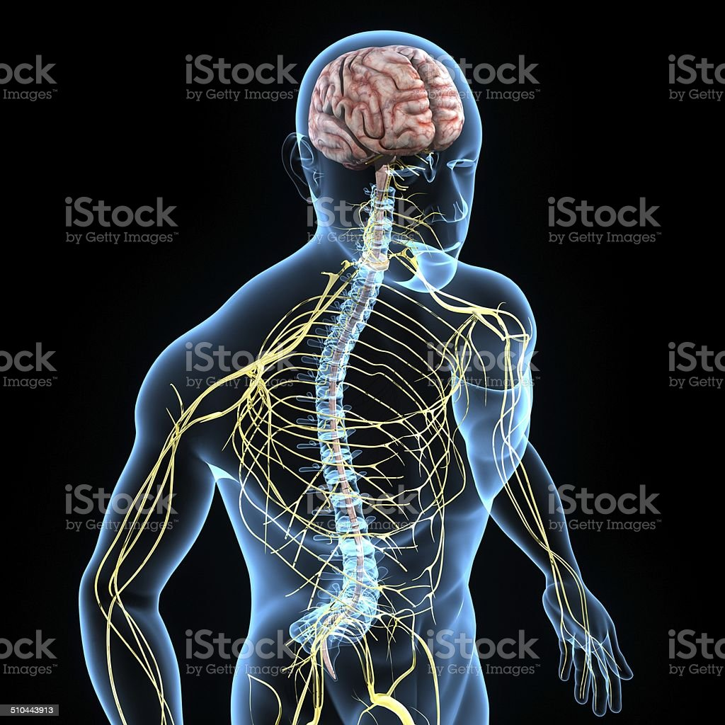Nervous system stock photo