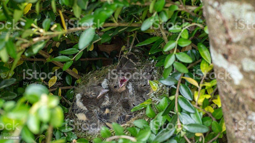 nest full of chicks stock photo