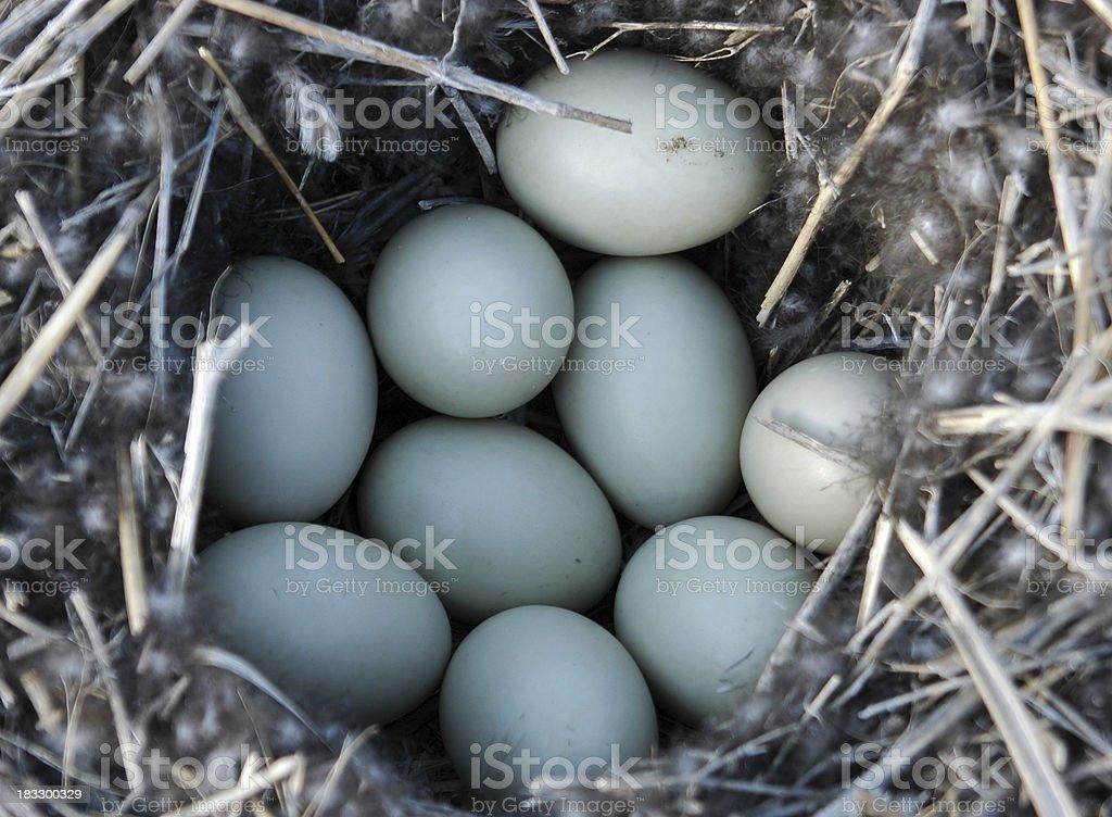 Nest full of Duck eggs royalty-free stock photo