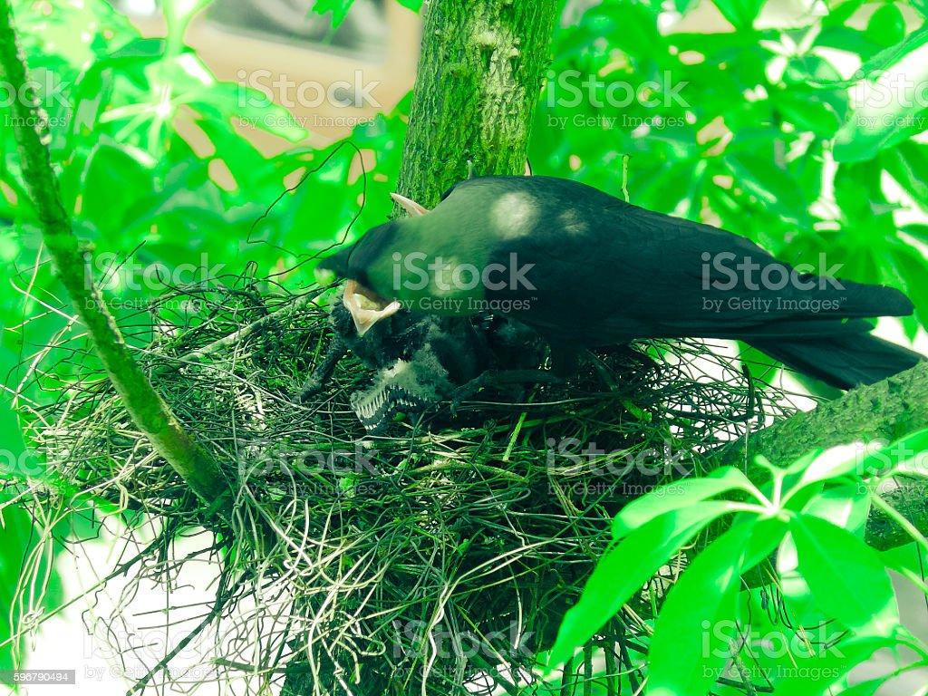 Nest house crow, Corvus Splendens with Young ones, India stock photo
