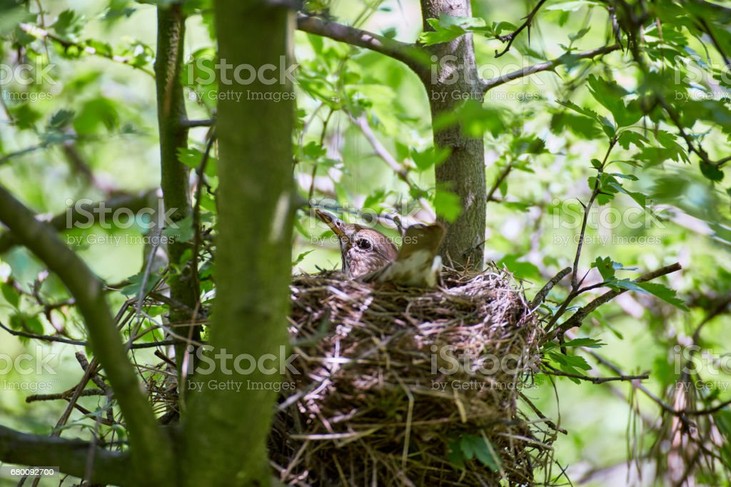 A nest of birds on a tree in the wild. stock photo