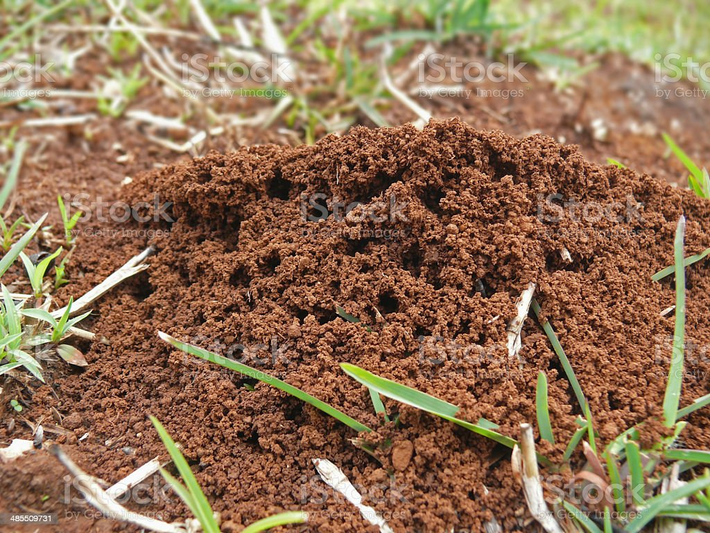 Nest of Common Red ants stock photo