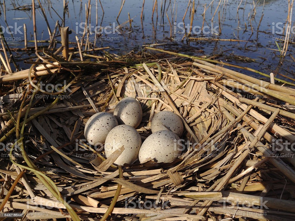 Nest of Coot stock photo
