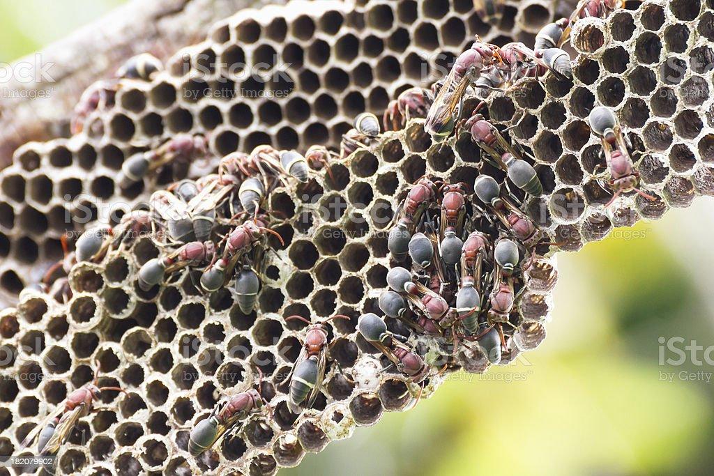 Nest of Hornet royalty-free stock photo