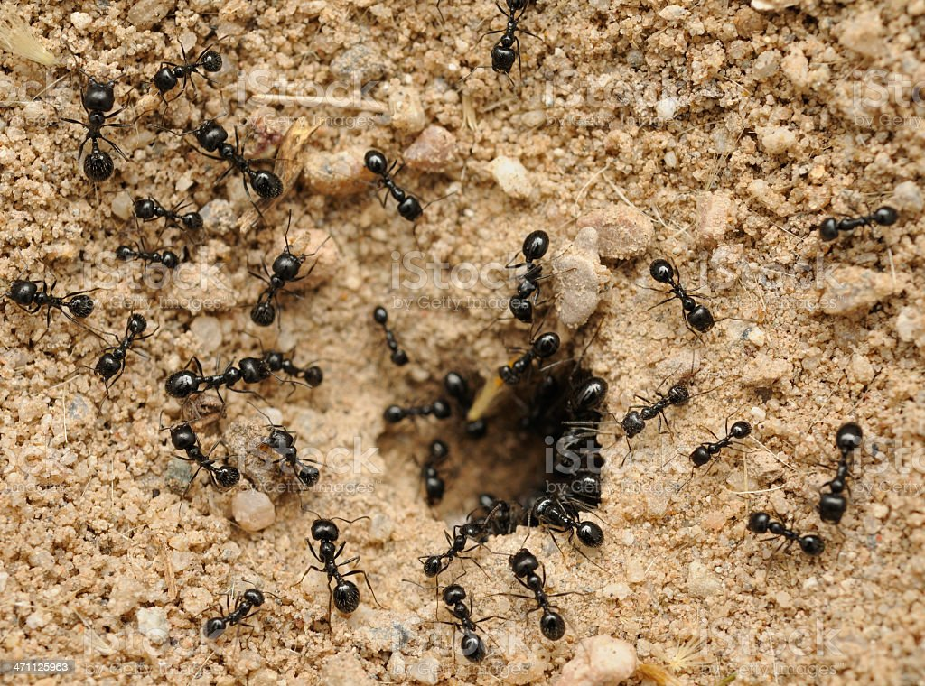 A nest of many black ants in the dirt stock photo