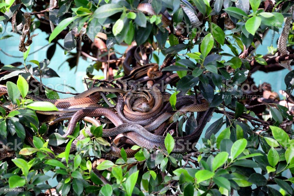 Nest of snakes stock photo