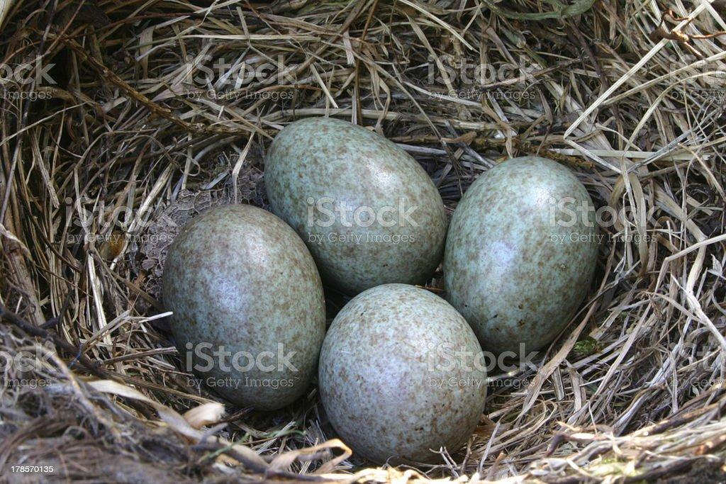 Nest with 4 eggs (blackbird) royalty-free stock photo