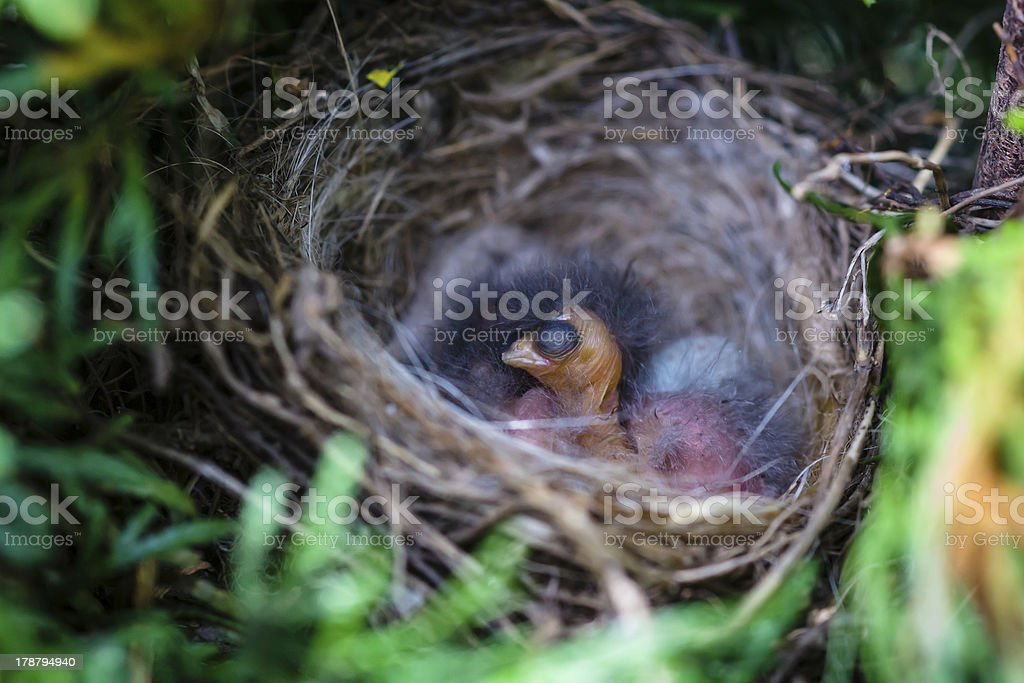 Nest with chicks in the grass thickets royalty-free stock photo