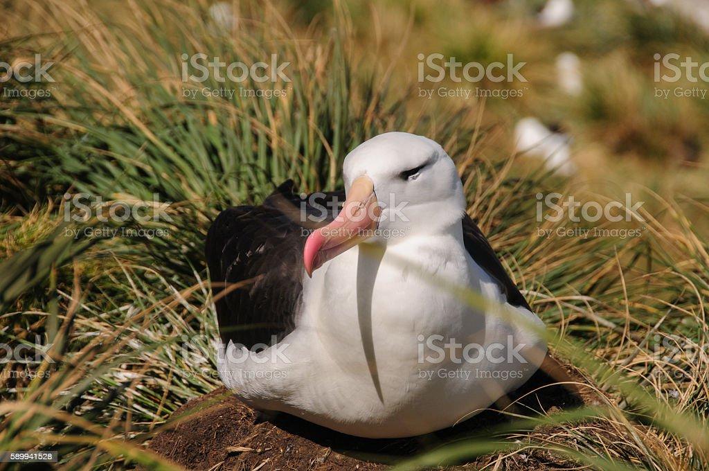 Nesting Albatross stock photo