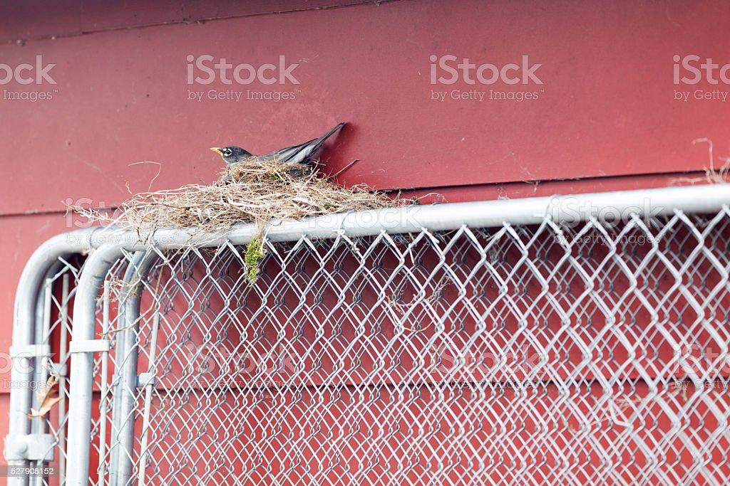 Nesting American Robin stock photo