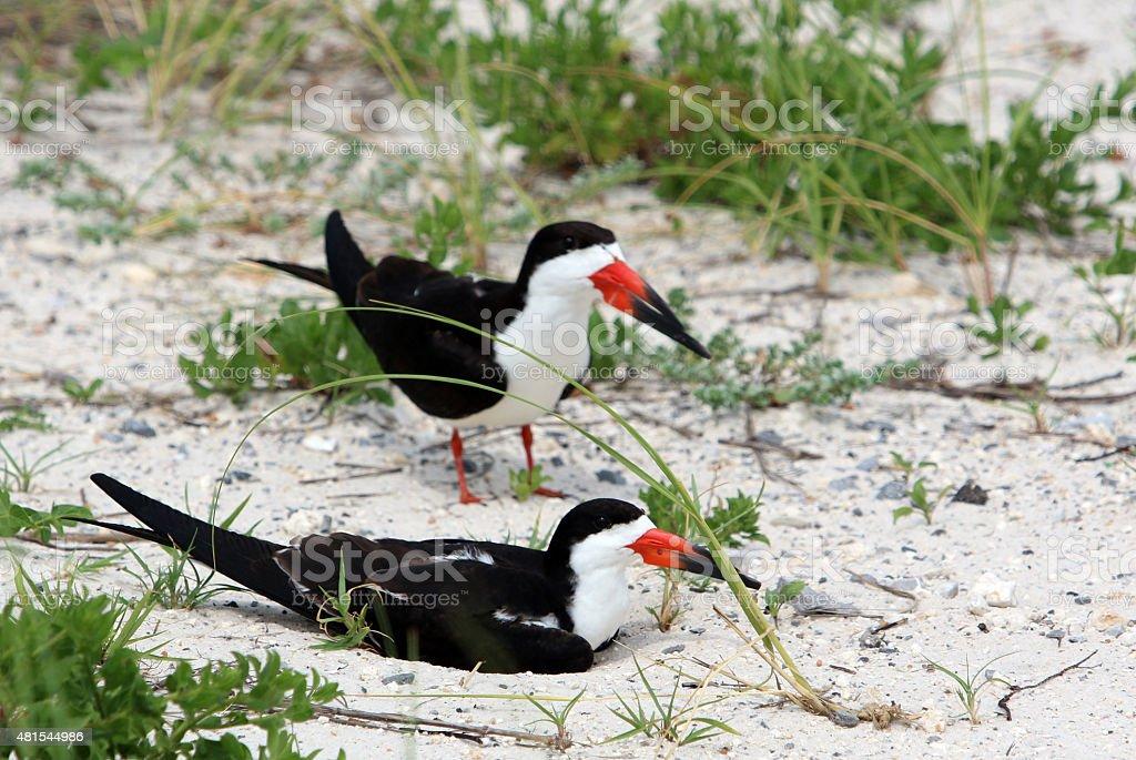 Nesting Black Skimmers stock photo