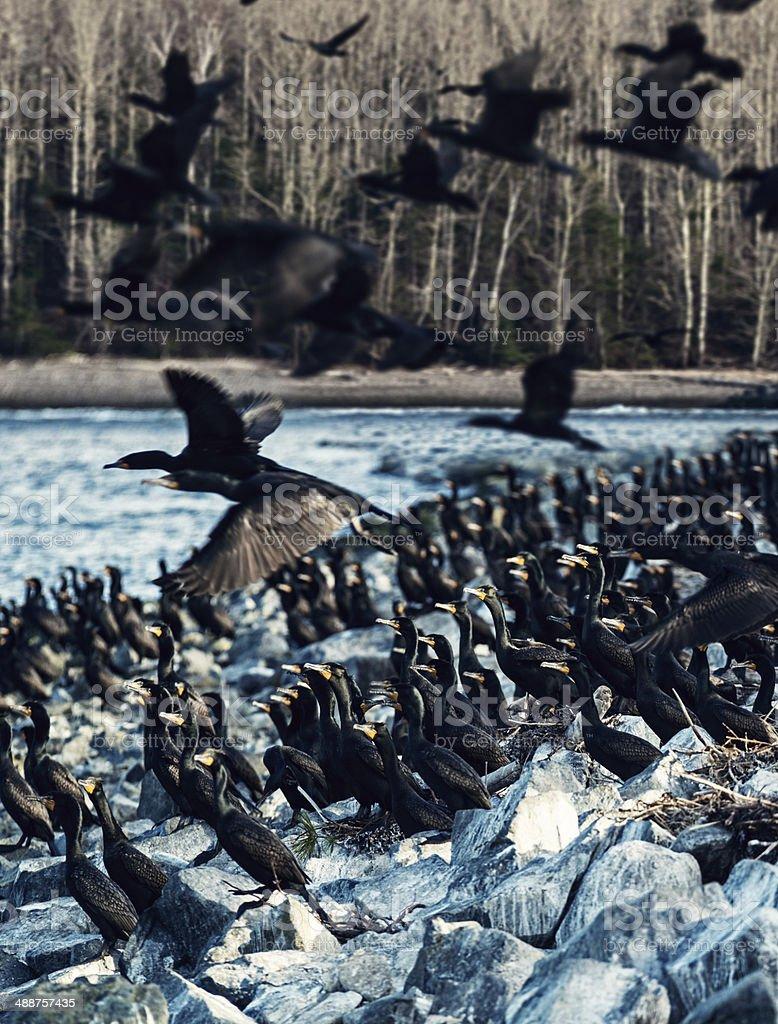 Nesting Cormorants royalty-free stock photo